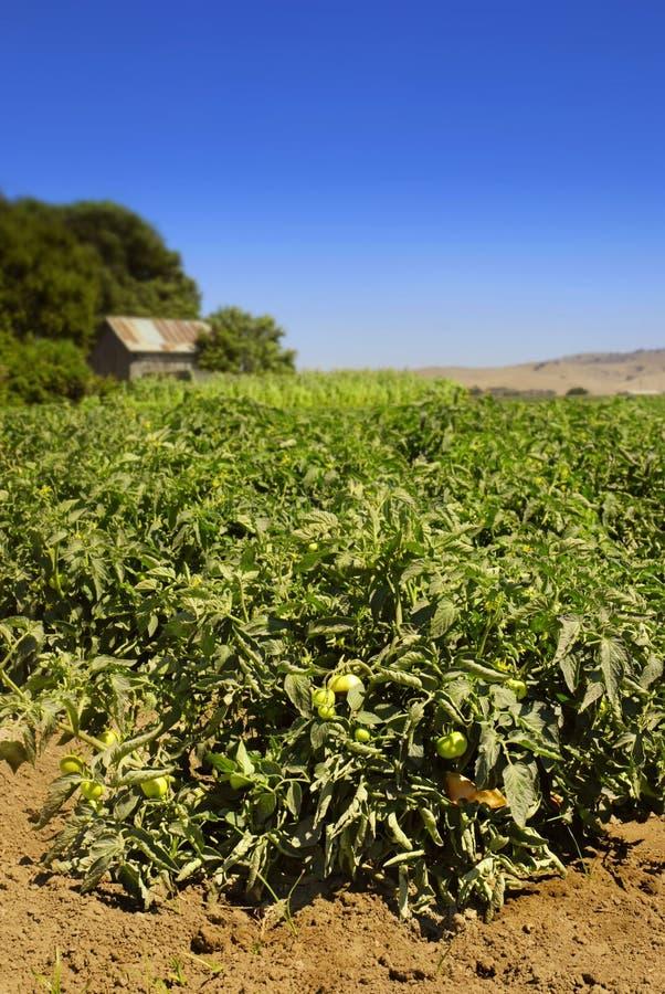 Tomate-Feld lizenzfreie stockfotos