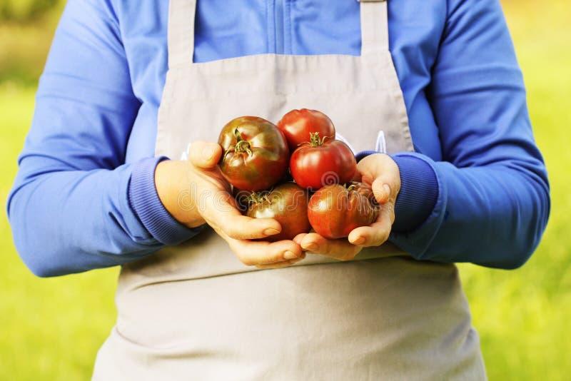 Tomate fresco do delizia do hybride Tomates orgânicos coloridos nas mãos dos fazendeiros fotografia de stock royalty free