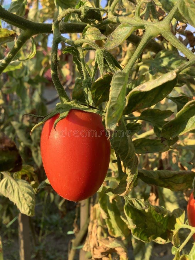 Tomate im Garten lizenzfreies stockbild
