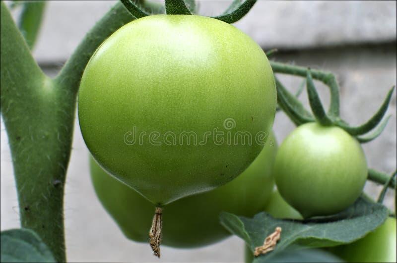 Tomate inmaduro verde imagenes de archivo