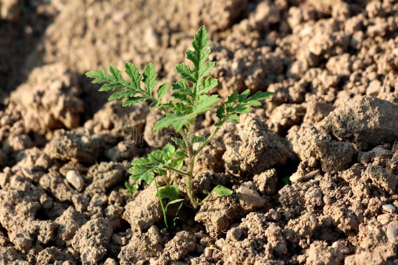 Tomate Litchi o Solanum simbrifolium pequeñas plantas recién plantadas con hojas verdes oscuras rodeadas de tierra seca en la zo imágenes de archivo libres de regalías