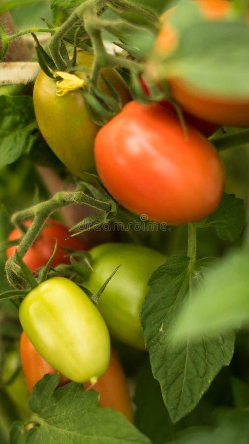 tomate m?re dans le jardin photographie stock libre de droits