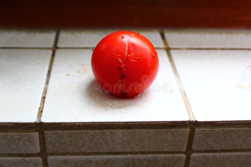 Tomate maduro com moscas de fruto fotos de stock royalty free