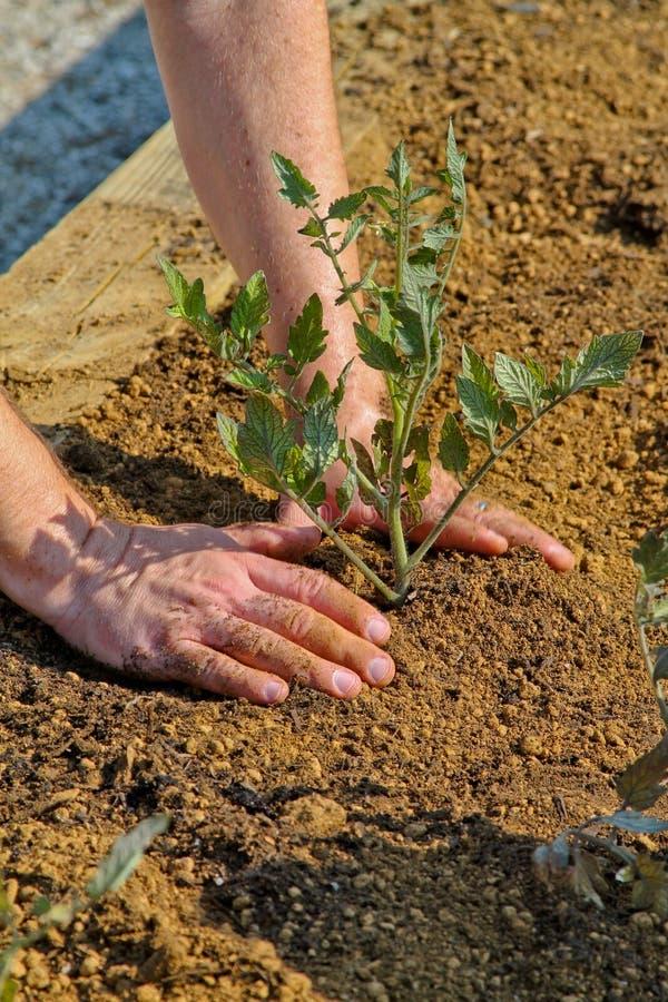 Download Tomate-Mann stockfoto. Bild von tomate, garten, gardening - 27731328