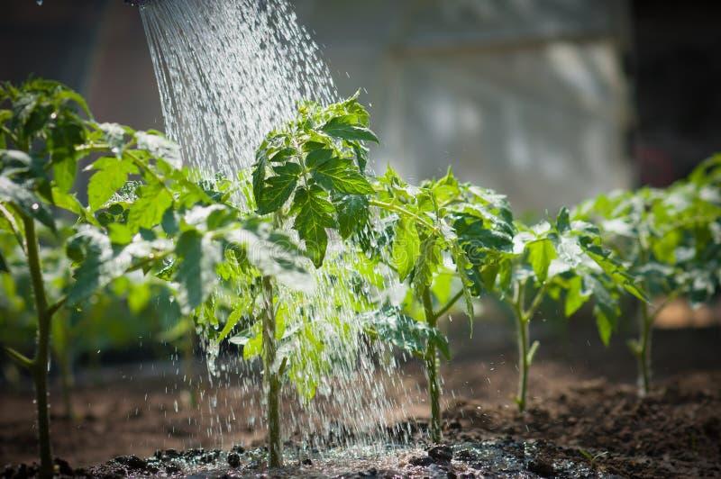 Tomate molhando do seedling imagem de stock royalty free