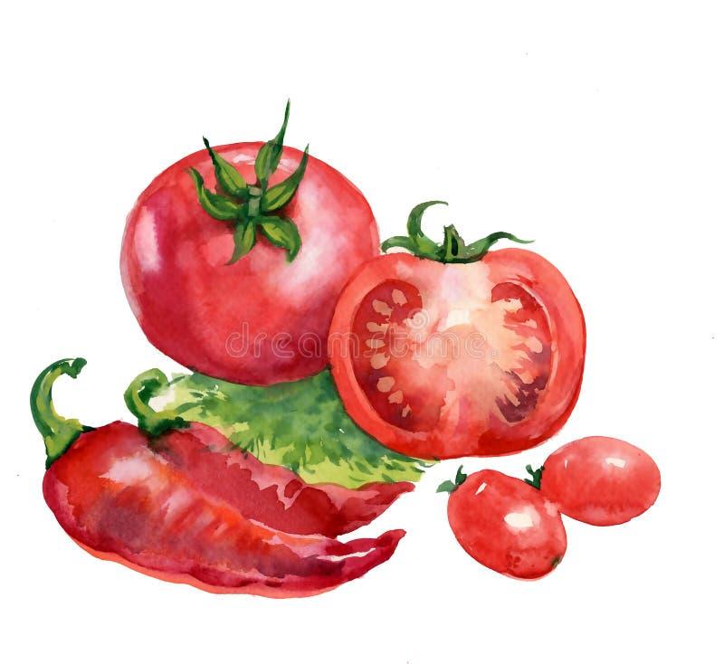 Tomate. pintura de la acuarela en el fondo blanco stock de ilustración