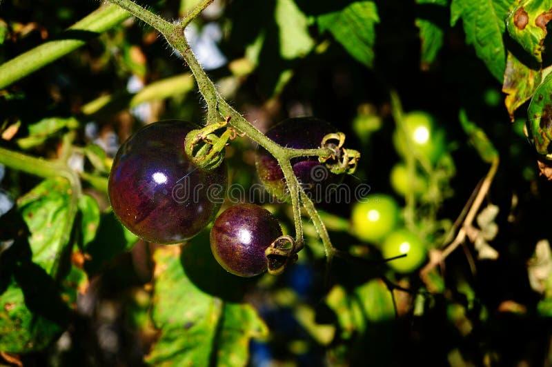 Tomate sustentável que cultiva em Florida sul imagem de stock royalty free