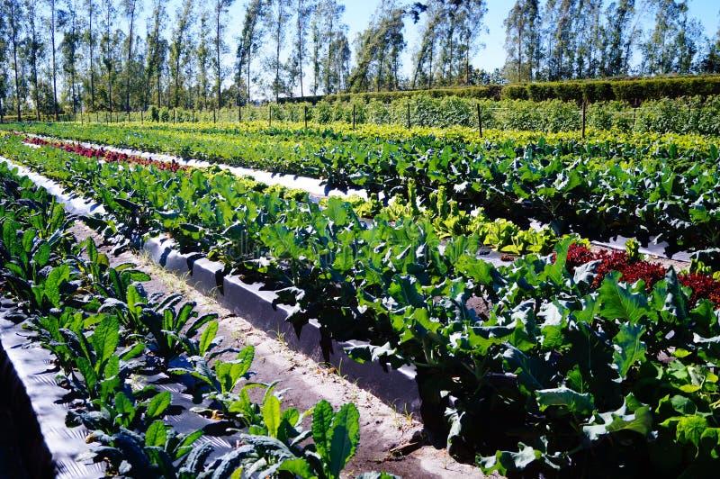Tomate sustentável que cultiva em Florida sul foto de stock