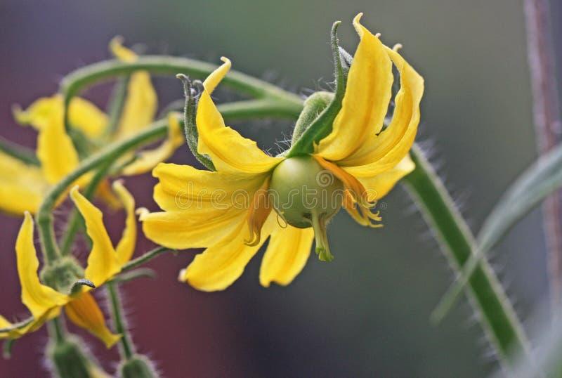 Tomate und Blume stockfotografie