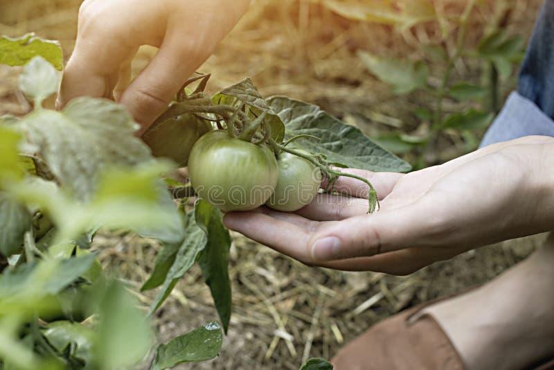 Tomate verde Produto-vegetais frescos de vegetables Tomate para o prato fotografia de stock royalty free
