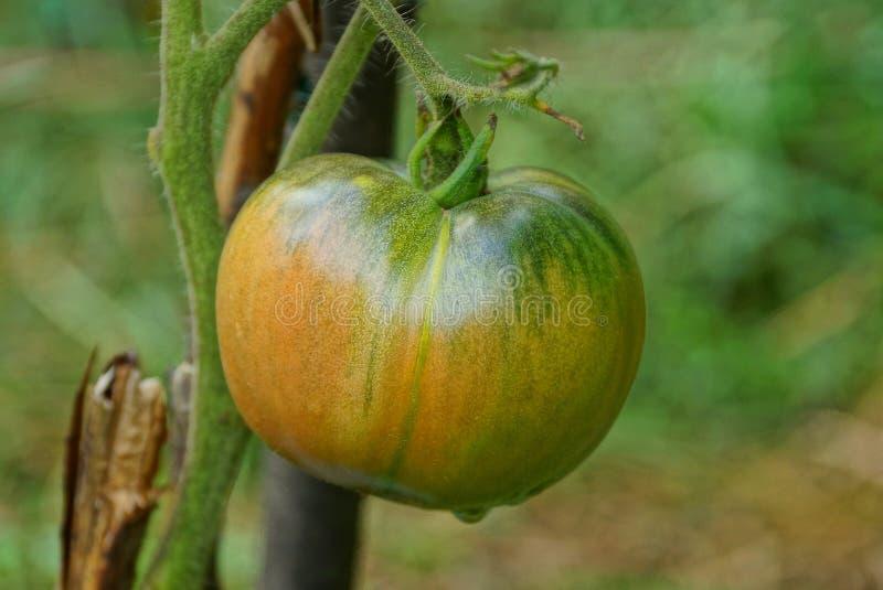 Tomate verde vermelho grande em um ramo do arbusto no jardim fotografia de stock royalty free