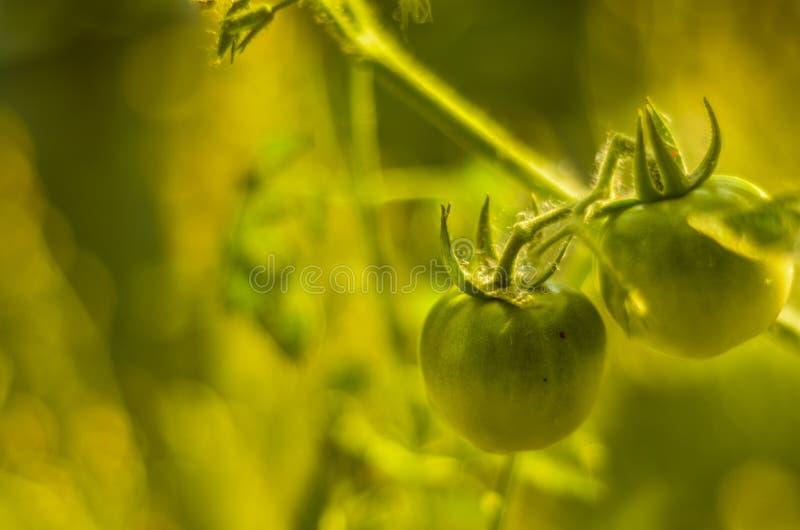 Tomate verte image stock