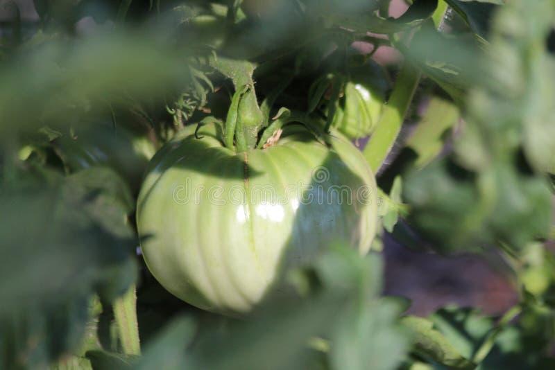 Tomate verte saine sur la vigne photo libre de droits