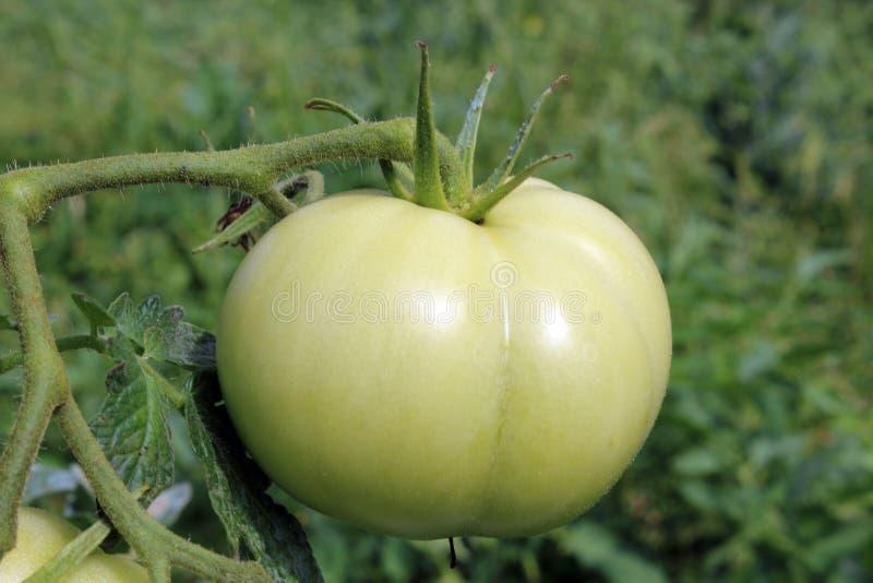 Tomate verte simple photos stock