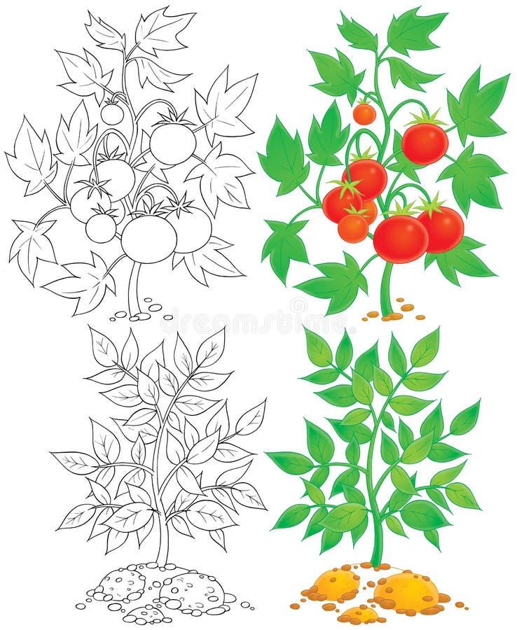 Tomate y patata ilustración del vector