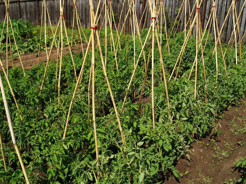 Tomatebiogarten stockfotos