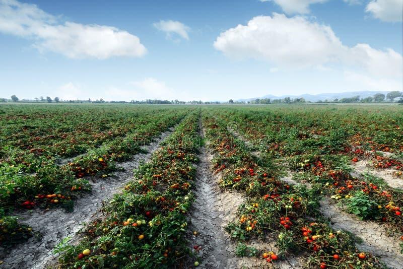 Tomatefeld am Sommertag stockbild