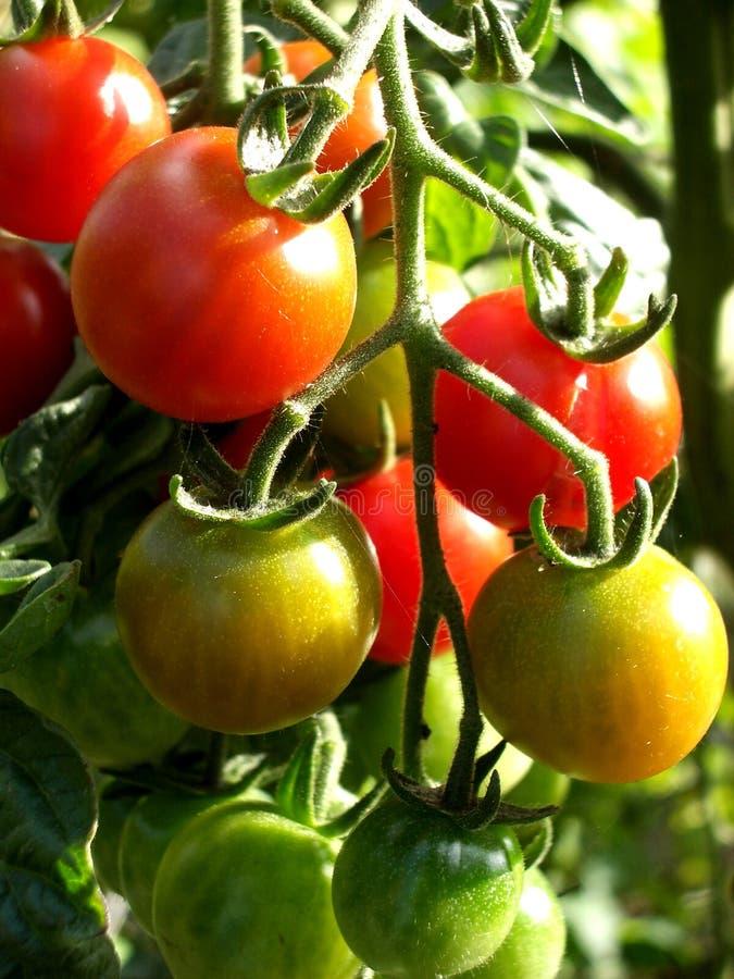 Tomaten 14 stockbild