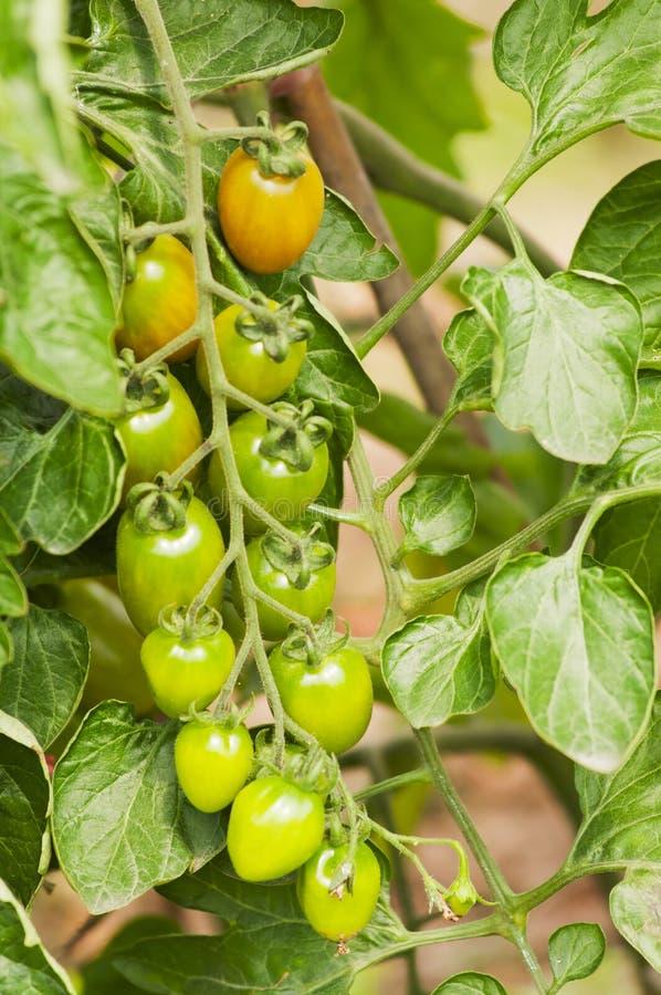 Download Tomaten stock afbeelding. Afbeelding bestaande uit fruit - 29511951
