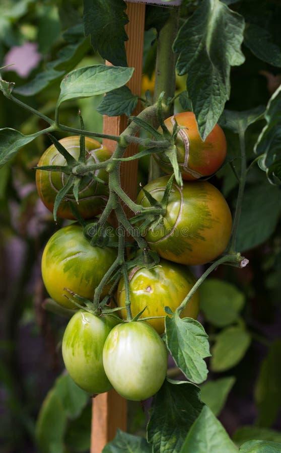 Tomaten auf der Anlage im Gewächshaus stockbild