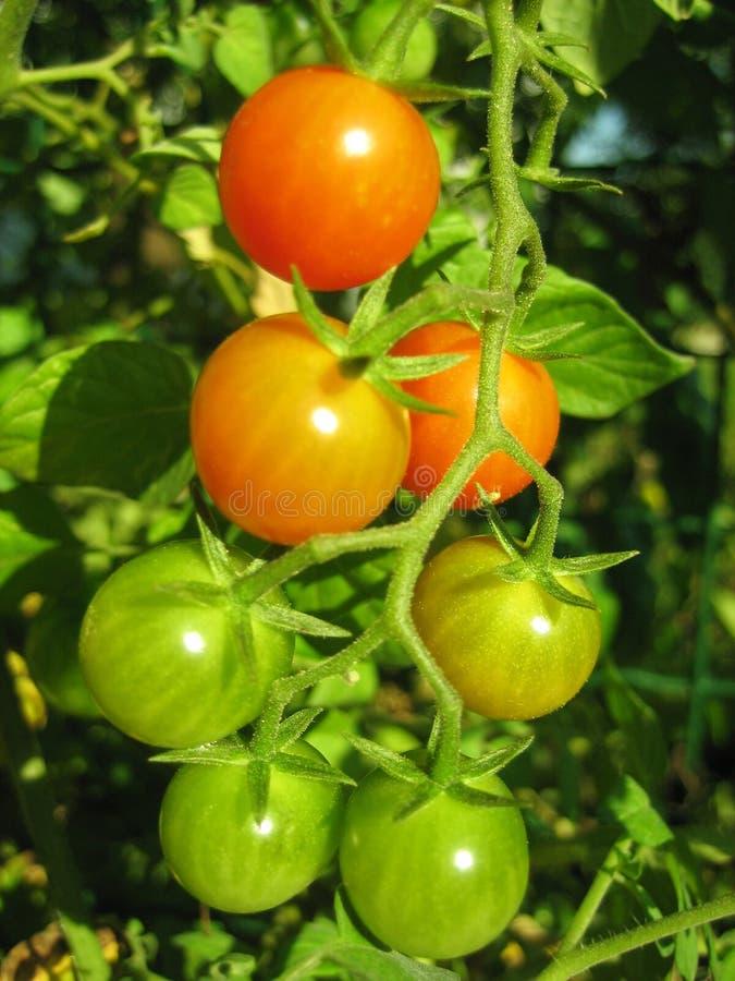 Tomaten auf der Rebe 2 stockfotos