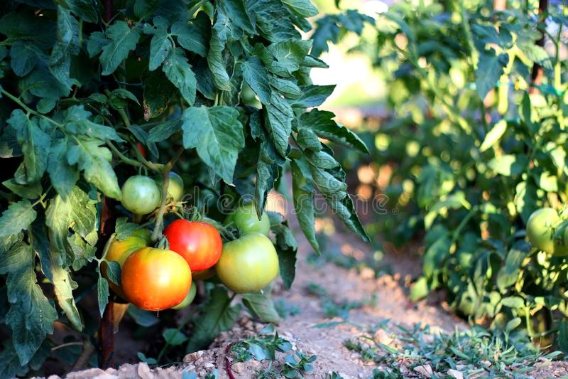 Tomaten in de tuin royalty-vrije stock foto