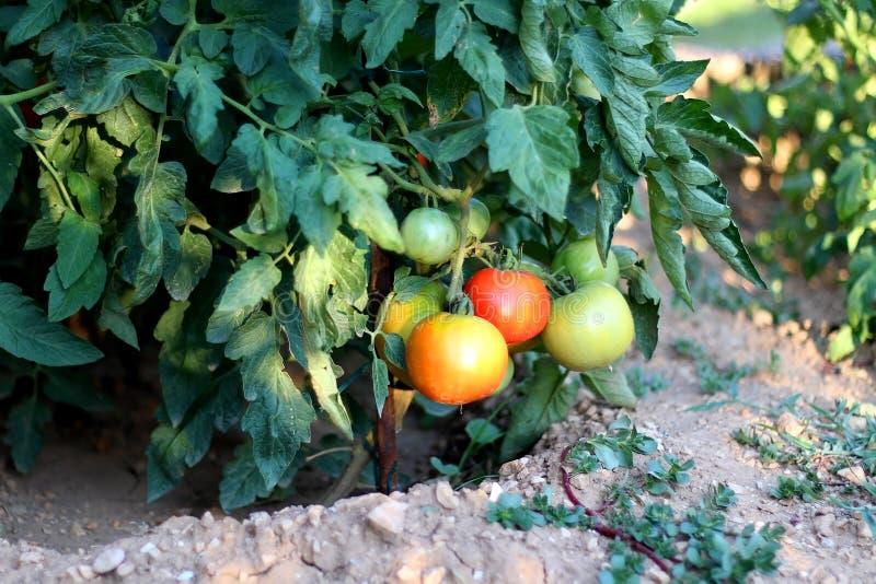 Tomaten in de tuin stock afbeeldingen