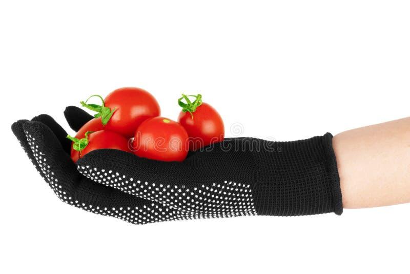 Tomaten in der menschlichen Hand Lokalisiert ?ber wei?em Hintergrund stockfotos