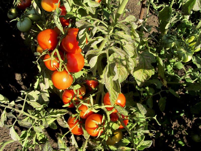 Tomaten die in de hete zon rijpen stock foto