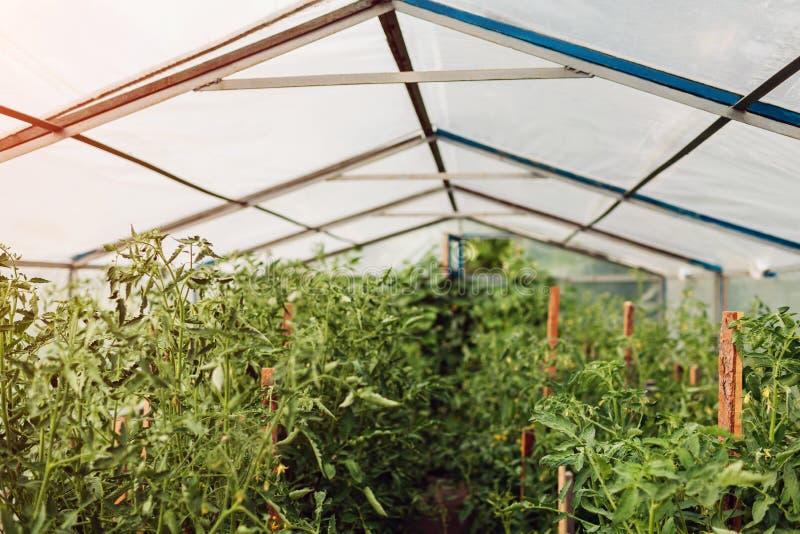 Tomaten, die am Gewächshaus auf Bauernhof wachsen Landwirtschaft, Gartenarbeitkonzept Organisches Gem?se lizenzfreies stockbild