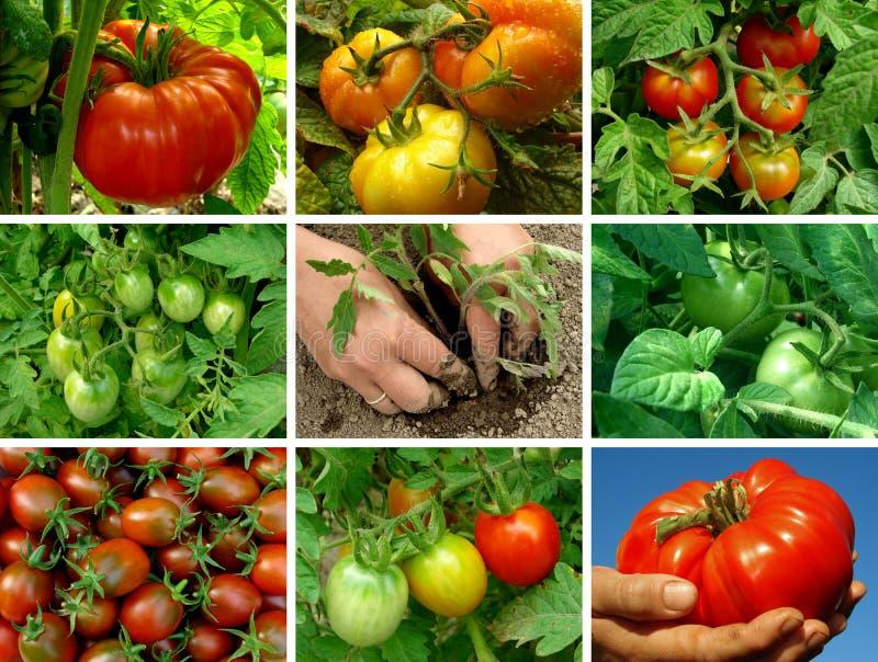 Tomaten eingestellt lizenzfreie stockfotografie