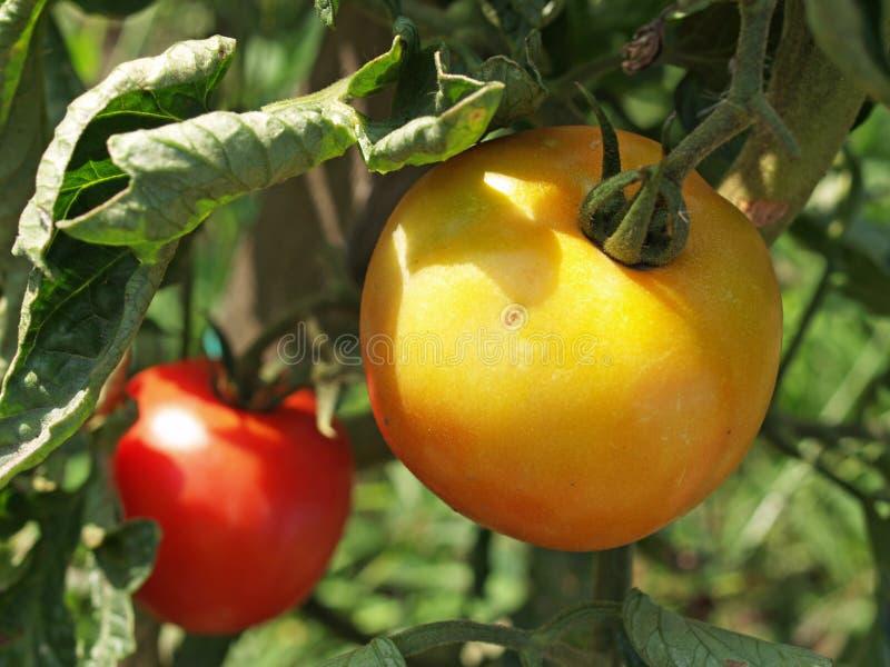 Tomaten fangen an, im Garten zu reifen lizenzfreies stockbild