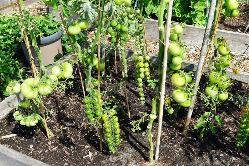 Tomaten-Feld mit großen Tomaten und Trauben-Tomaten stockbilder
