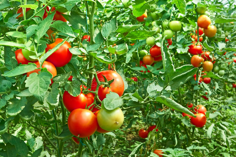 Tomaten im Gewächshaus lizenzfreie stockfotografie