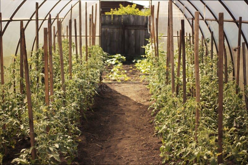 Tomaten im Gewächshaus Organisches Konzept stockbilder