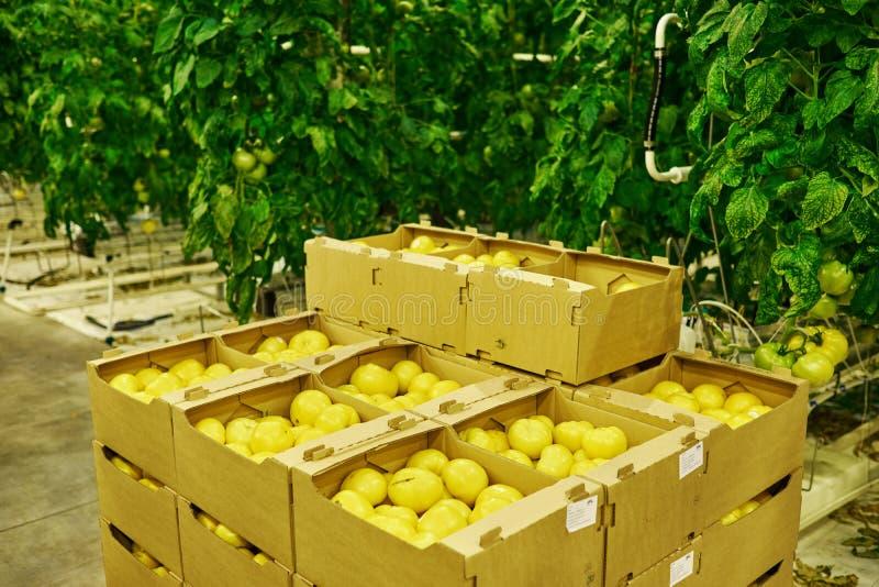 Tomatenaanplanting in serre royalty-vrije stock foto's