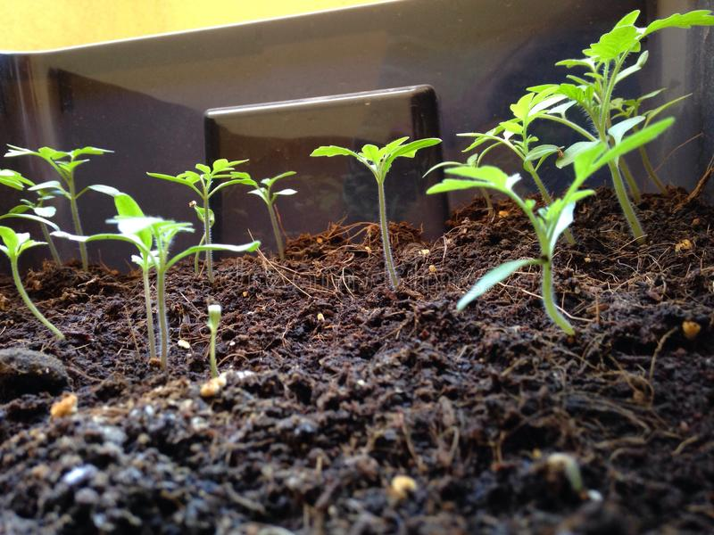 Tomatenbaum lizenzfreie stockbilder