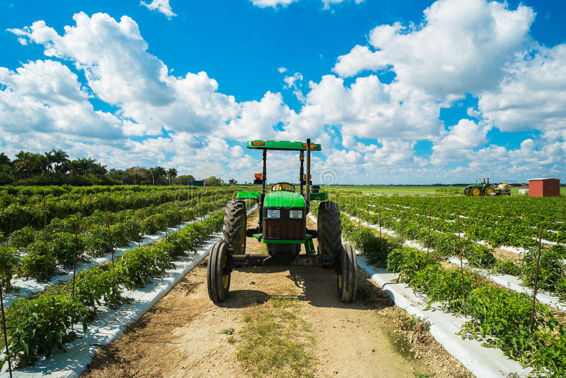 Tomatenfeld lizenzfreies stockfoto