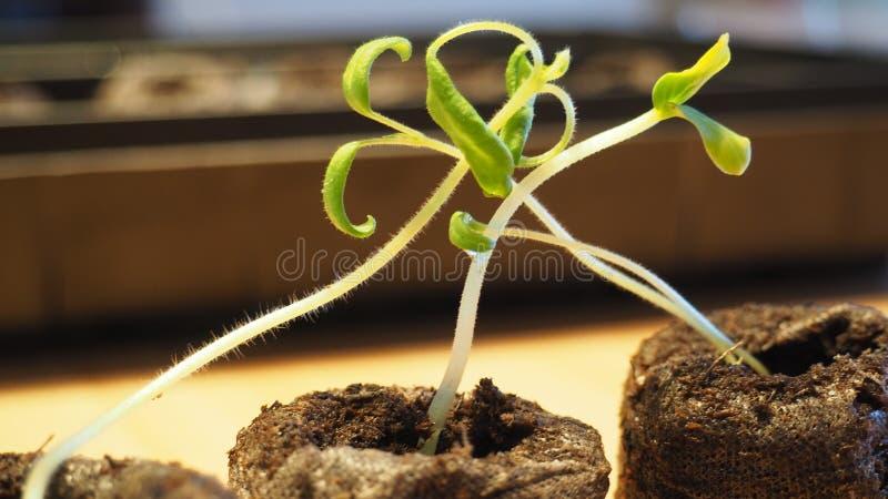 Tomatenjonge planten stock afbeeldingen