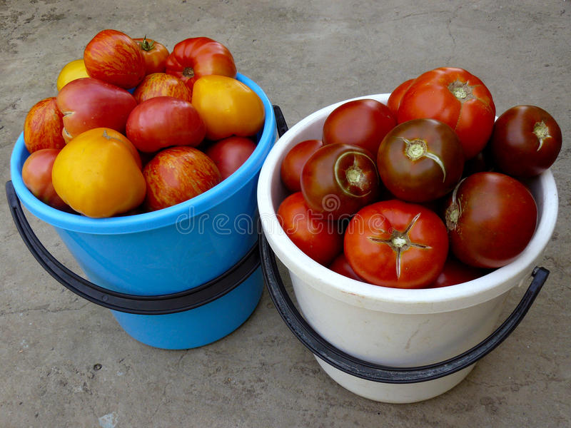 Tomatenoogst royalty-vrije stock foto