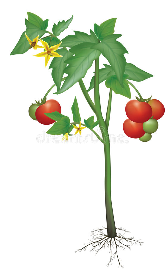 Tomatenpflanze vektor abbildung