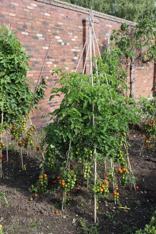 Tomatenpflanzen auf einem Rahmen stockbild