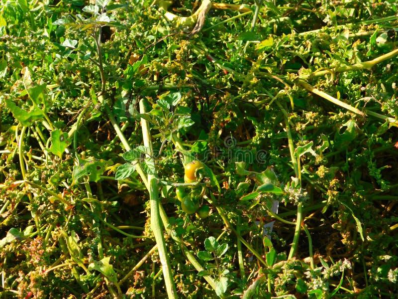 Tomatenpflanzen wachsen wild am Strand an der Küste lizenzfreies stockbild