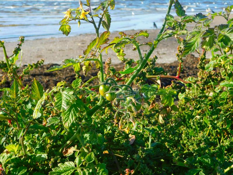Tomatenpflanzen wachsen wild am Strand an der Küste lizenzfreie stockfotos
