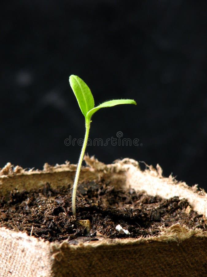 Tomatenplant stock afbeelding