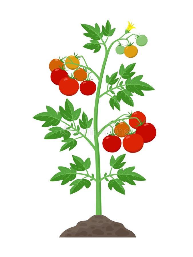 Tomatenplant met rijpe tomatenvruchten en bloemen die in de grond vectordieillustratie groeien op wit wordt geïsoleerd vector illustratie