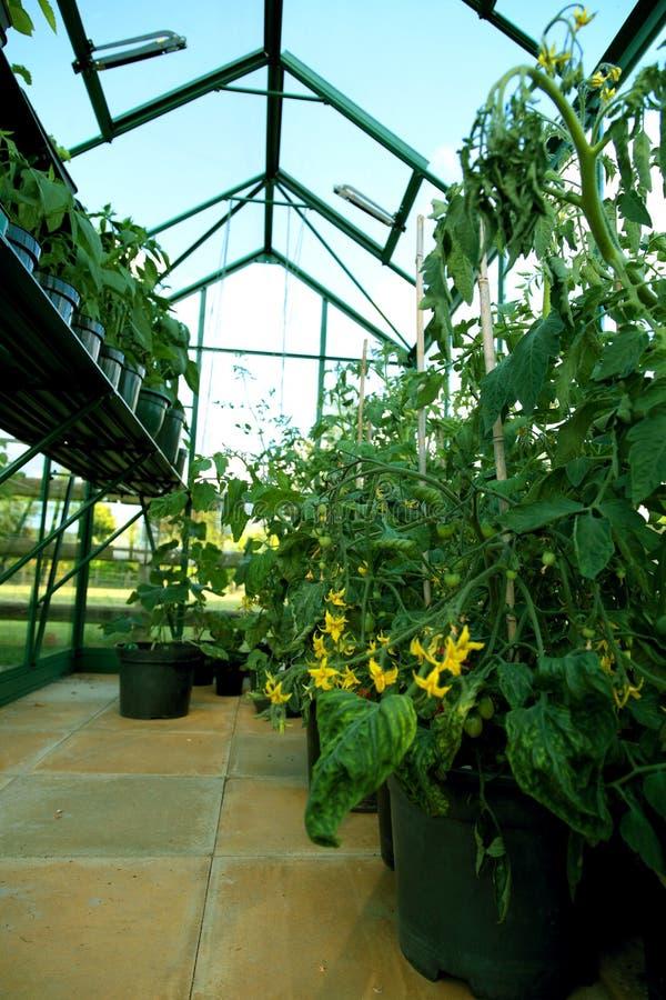 Tomatenplanten die in potten binnen een serreserre groeien royalty-vrije stock foto