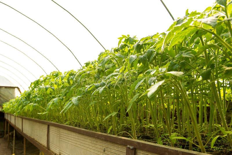 Tomatenplanten en komkommerinstallaties in plantaardige serres Tomatenzaailing alvorens in de grond te planten, stock fotografie