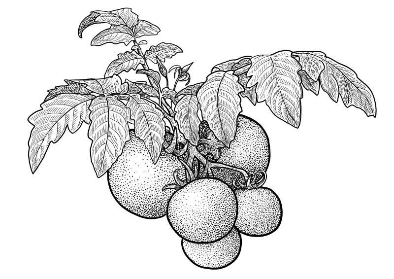 Tomatenplantillustratie, tekening, gravure, inkt, lijnkunst, vector stock illustratie