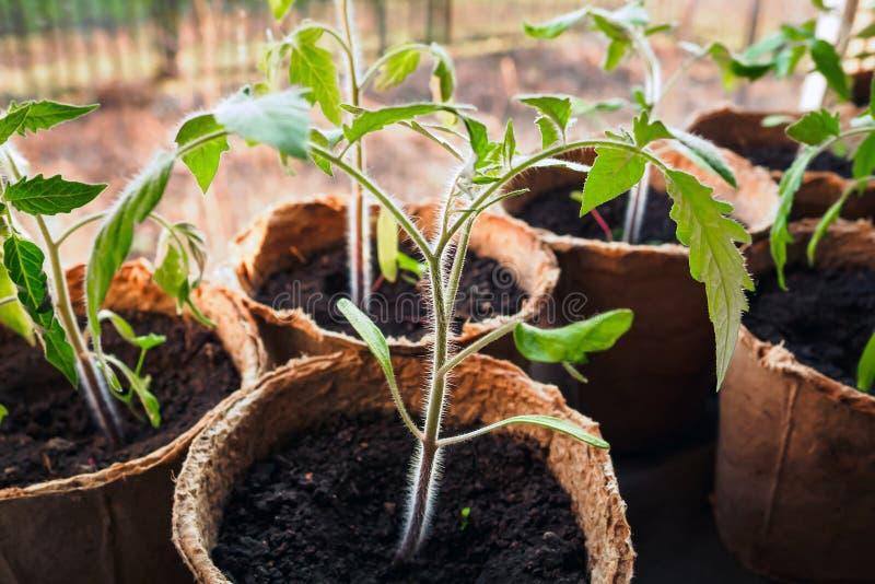 Tomatenspruit in turfpot, de lentezaailingen op vensterbank, selectieve nadruk stock foto